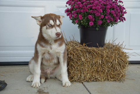 Siberian Husky Puppy For Sale Fredericksburg OH Male Juneau