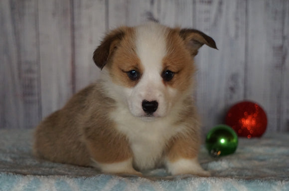 AKC Registered Pembroke Welsh Corgi For Sale Millersburg, OH Male- Blitzen