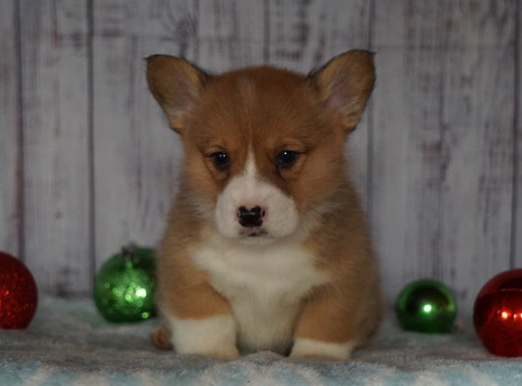 AKC Registered Pembroke Welsh Corgi For Sale Millersburg, OH Male- Ricky