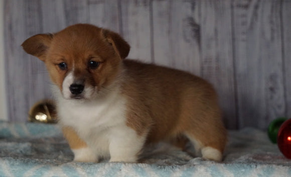AKC Registered Pembroke Welsh Corgi For Sale Millersburg, OH Female- Joy