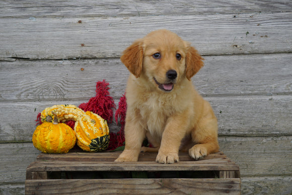 Golden Retriever For Sale Fredericksburg OH Male- Zibo