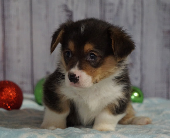 AKC Registered Pembroke Welsh Corgi For Sale Millersburg, OH Male- Rudolph