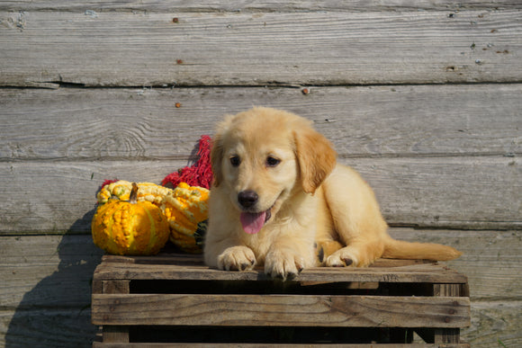Golden Retriever For Sale Fredericksburg OH Female- Zoey