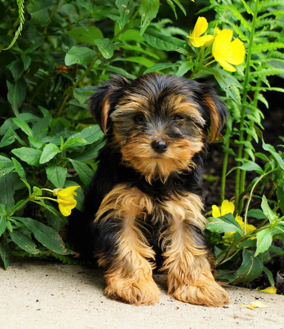 Yorkshire Terrier For Sale Baltic, OH Female- Alice