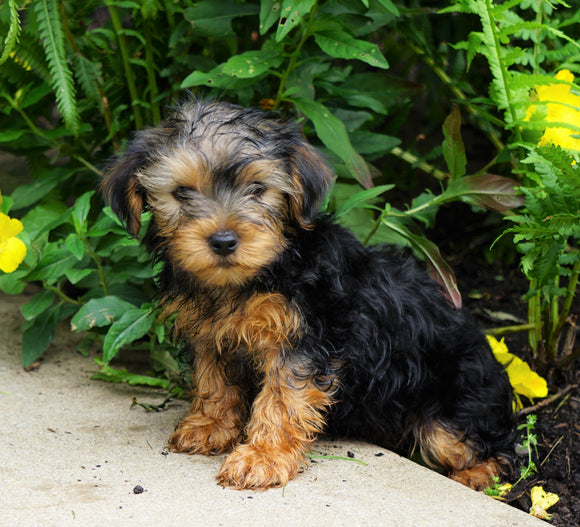 Yorkshire Terrier For Sale Baltic, OH Male- Duke
