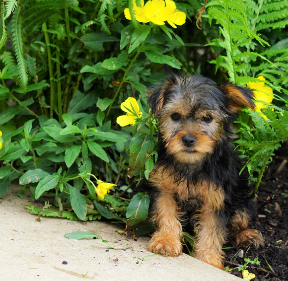 Yorkshire Terrier For Sale Baltic, OH Female- Mindy