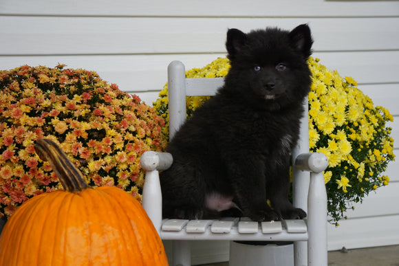 Pomsky For Sale Warsaw OH Male- Bear
