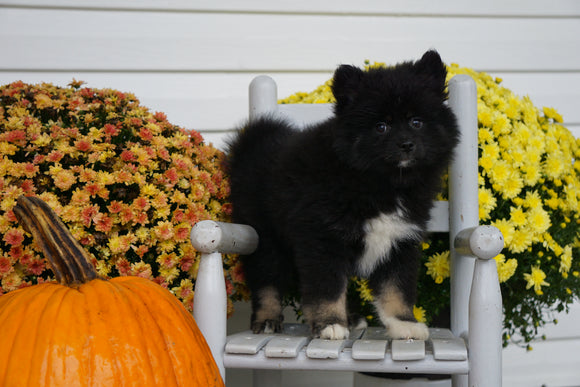 Pomsky For Sale Warsaw OH Female- Chloe