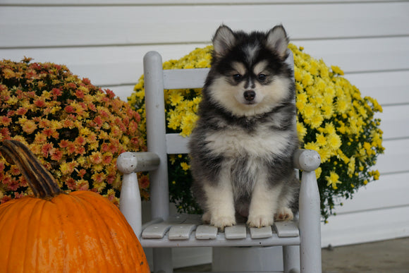 Pomsky For Sale Warsaw OH Female- Daisy