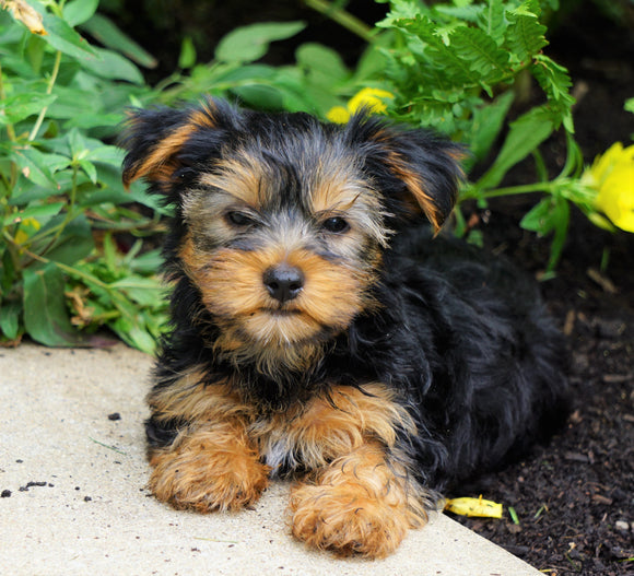 Yorkshire Terrier For Sale Baltic, OH Female- Priscilla