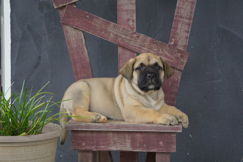 UKC Registered Presa Canario For Sale Fresno OH Female- Daisy