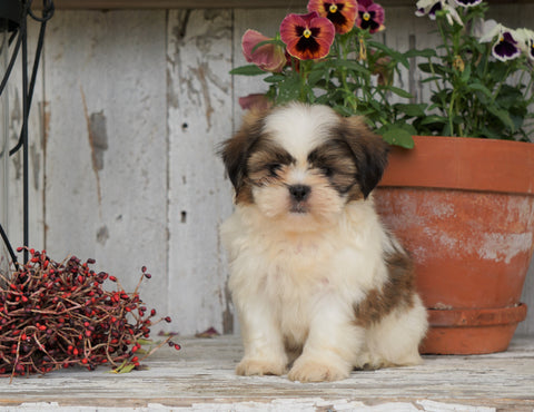 Shih Tzu Puppy For Sale Millersburg, OH Female- Misty