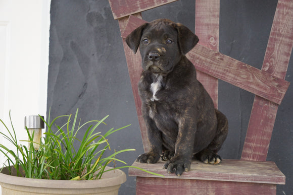 UKC Registered Presa Canario For Sale Fresno OH Male- Jackson