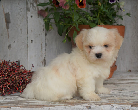 Shih Tzu Puppy For Sale Millersburg, OH Male- Duramax