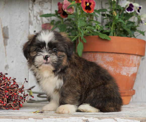 Shih Tzu Puppy For Sale Millersburg, OH Male- Lebron