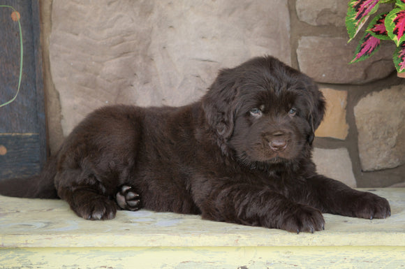 AKC Registered Newfoundland For Sale Dalton, OH Male- Moose