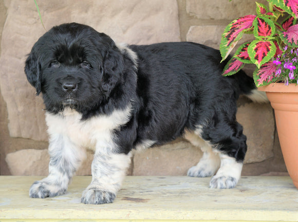 AKC Registered Newfoundland For Sale Dalton, OH Female- Sally