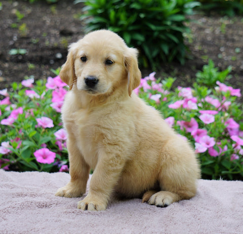 AKC Registered Golden Retriever For Sale Fredericksburg, OH Female- Audrey