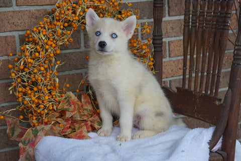Pomsky Puppy For Sale Fredericksburg OH Female- Taylor
