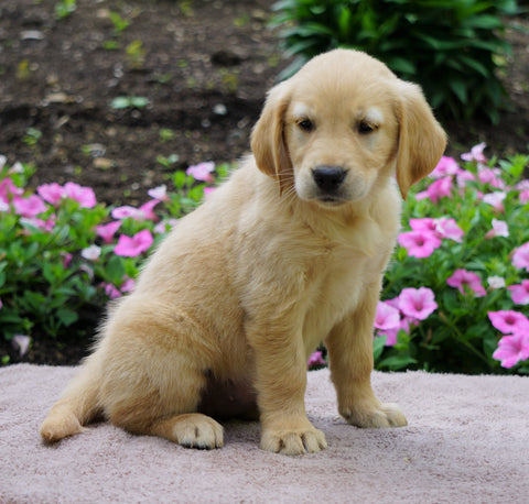 AKC Registered Golden Retriever For Sale Fredericksburg, OH Female- Ginger