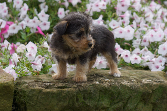 Foodle Puppy For Sale Fredericksburg OH Female- Daisy