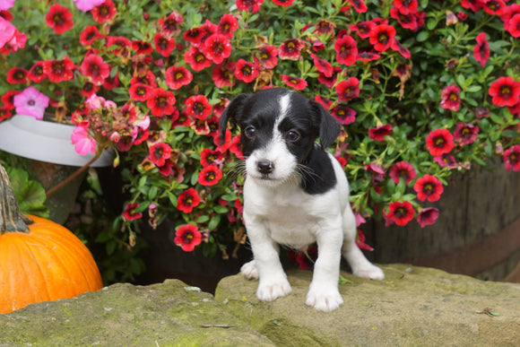 Foodle Puppy For Sale Fredericksburg OH Male- Oreo