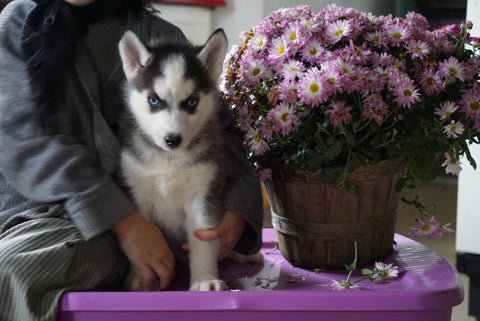 Siberian Husky For Sale Fredericksburg, OH Female Hershy