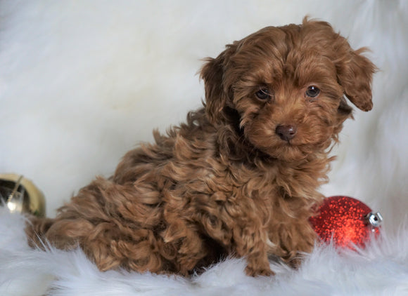 Miniature Poodle For Sale Fredericksburg, OH Male- Bingo