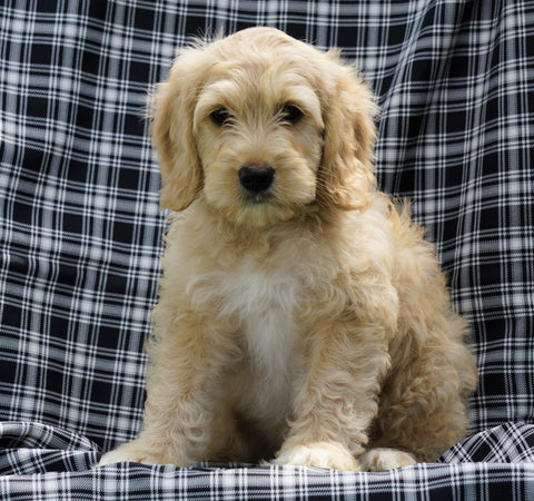 Mini F1B Labradoodle For Sale Millersburg, OH Male- Homer