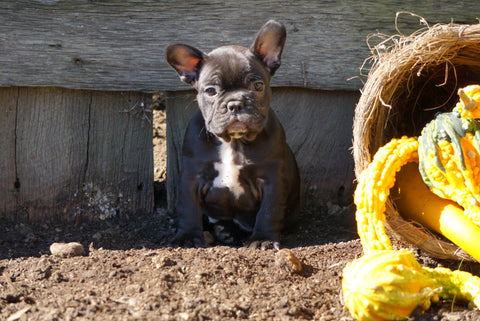 AKC Registered French Bulldog For Sale Millersburg, OH Male- Charles