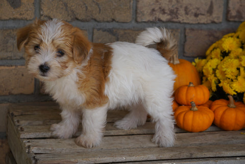 Morkie For Sale Dundee, OH Male- Mikey