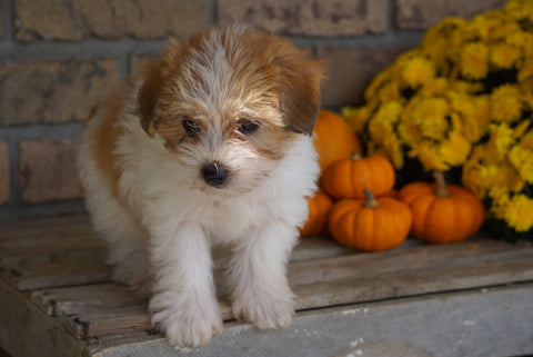 Morkie For Sale Dundee, OH Male- Moses