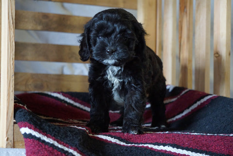 Cockapoo For Sale Millersburg, OH Female- Claire