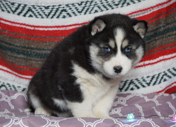 Siberian Husky For Sale Fredericksburg, OH Male- Lonnie