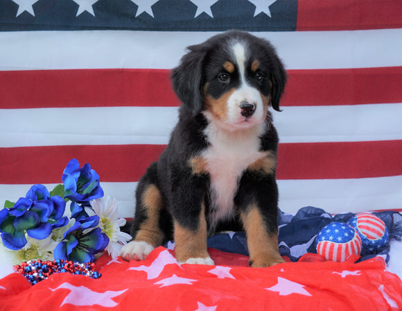 ACA Registered Bernese Mountain Dog For Sale Fredericksburg, OH Male- Bailey