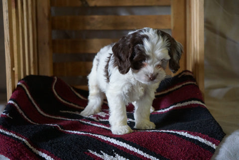 Cockapoo For Sale Millersburg, OH Male- Harley