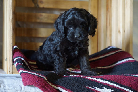 Cockapoo For Sale Millersburg, OH Male- Cliff