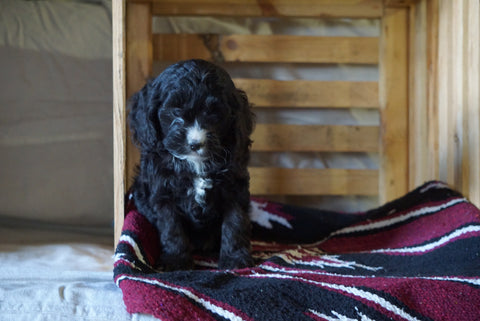 Cockapoo For Sale Millersburg, OH Male- Hugo