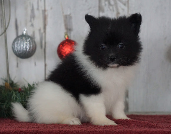 ACA Registered Pomeranian For Sale Millersburg, OH Female- Lucy