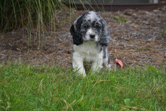 AKC Registered Cocker Spaniel For Sale Wooster OH Male- Cody