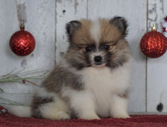 ACA Registered Pomeranian For Sale Millersburg, OH Male- Samuel
