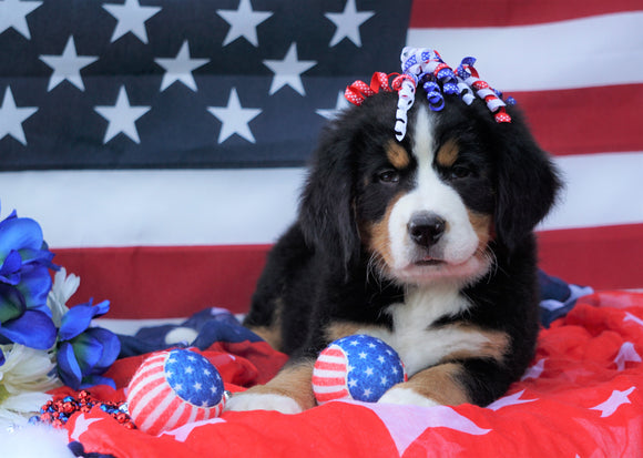 ACA Registered Bernese Mountain Dog For Sale Fredericksburg, OH Female- Lily