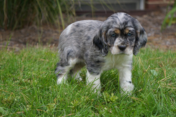 AKC Registered Cocker Spaniel For Sale Wooster, OH Female- Twinkle