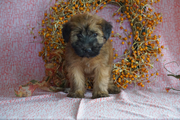 AKC Registered Soft Coated Wheaten Terrier For Sale Fredericksburg, OH Female- Macy