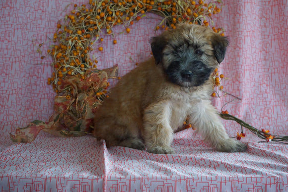 AKC Registered Soft Coated Wheaten Terrier For Sale Fredericksburg, OH Male- Morris