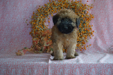 AKC Registered Soft Coated Wheaten Terrier For Sale Fredericksburg, OH Male- Marcus