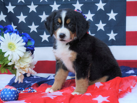 ACA Registered Bernese Mountain Dog For Sale Fredericksburg, OH Female- Sophie