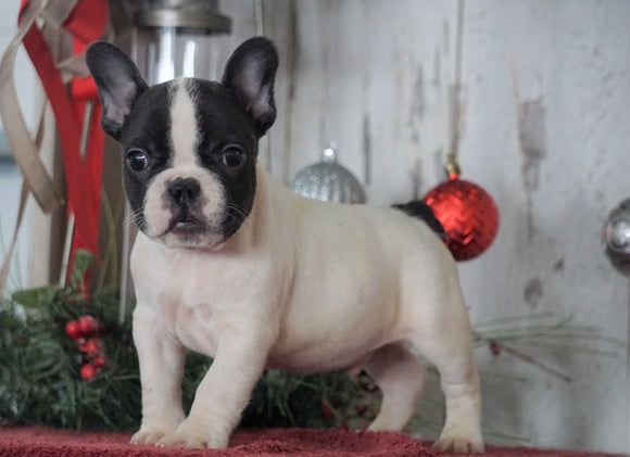 AKC Registered French Bulldog For Sale Millersburg, OH Male- Maverick