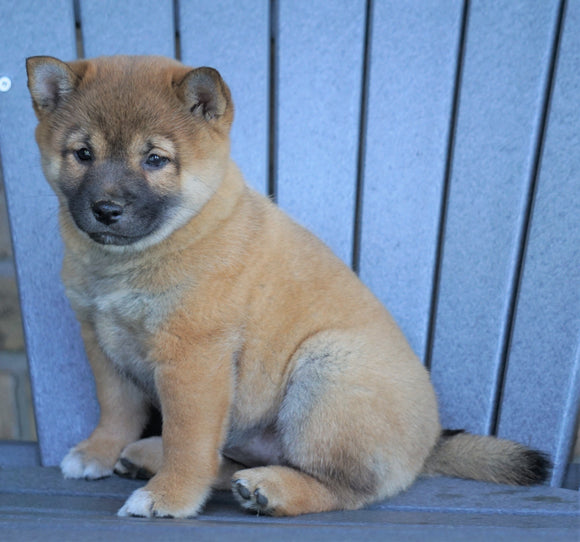 AKC Registered Shiba Inu For Sale Millersburg, OH Female- Bonnie