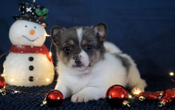 Pomeranian Mix For Sale Millersburg, OH Male- Mason